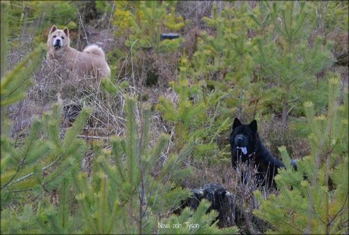 Inte ett rådjur, älg, varg eller annat djur utan bara en massa gulliga chowar var man än vänder blicken.... På bilden är Nova och Tyson.