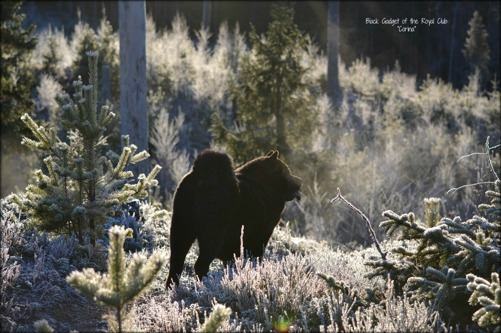 Den finaste svarta björn man kan tänka sig. Vår älskade Corina