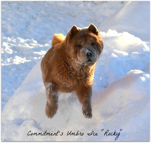 Rocky flyger fram över snöhögarna som vi skottat upp på gården.