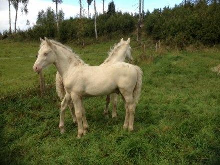 Mabon och Ice Man eller är det en häst med två huvuden?