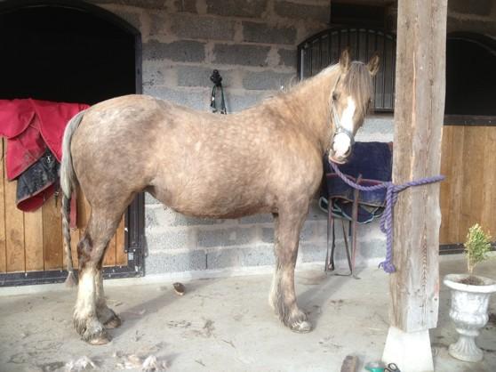 """Janton Uptown Girl """"Honey """" borstas och någonstans därunder all vinterpäls finns en häst"""