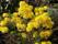 luteum buske