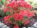 molle ssp japonicum