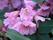 oreodoxa var fargesii.blomma