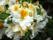 Persil blomma