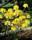 Sonnenköpfchen buske