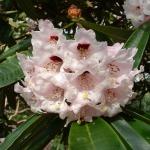 R. calophytum