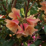ambiguum x cinnabarinum concatenans Group blomma