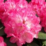 Anuschka blomma