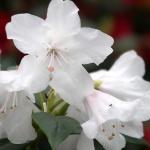 Dora Amateis blomma
