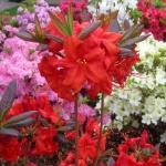 Fireball blomma