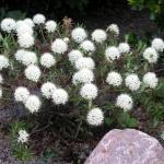 groenlandicum ´Compactum´