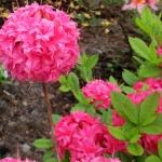 Homebush blomma