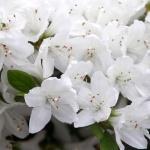 Kermesina alba blomma
