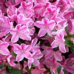Kermesina Rosé blomma