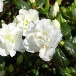 Maischnee blomma