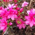 Melina blomma