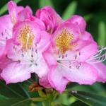 Midsummer blomma