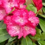 Morgenrot blomma
