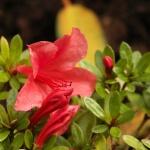 nakaharae 'Mount Seven Star' blomma