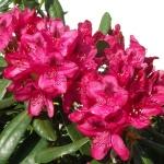 Nova Zembla blomma