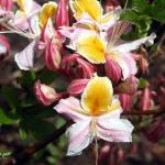 occidentale blomma