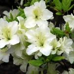 Olga Niblett blomma