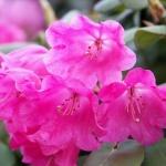 orbiculare blomma