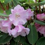 oreodoxa var fargesii blomma
