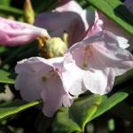 pingianum blomma