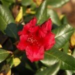 Scarlet Wonder blomma