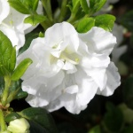 Schneeperle blomma