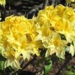 Sonnenköpfchen blomma