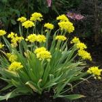 Allium mollis