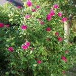 Rose de Recht.1