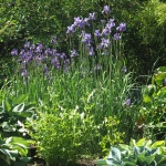 "Iris sibirica ""Ewen"""