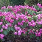 Rh orbiculare i blom