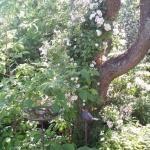 Rosen Little Rambler klättrar i plommonträdet