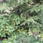 Vid Tsuga canadensis (hemlocksgranen) växer bl a Rh orbiculare, Frittelaria och Erythronium (hundtandlilja)