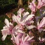 Magnolia i blom
