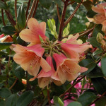 ambiguum x concatenans blomma