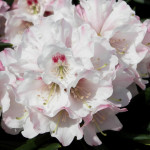 Blewbury blomma