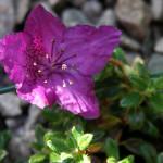 calostrotum ssp keleticum