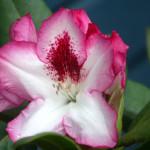 Diadem blomma