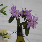 R. trichanthum (Triflora) Stefan Salomonsson S.1