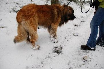 Så här blir tassarna när vovvarna lufsar i snön