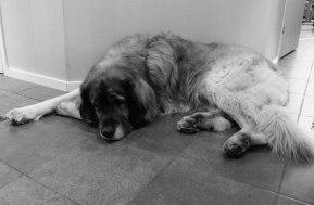 Nelson, fortfarande bedövad (bedrövad) efter röntgen på djursjukhuset