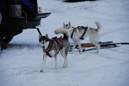 Husky-tjejerna vill hälsa på Max och Nelson