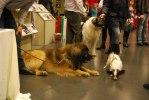 2010-01-07 My Dog - Max försöker imponera på den lilla tiken