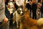 2010-01-07 My Dog - Pyreneisk Mastiff - Hon ville leka med Max.